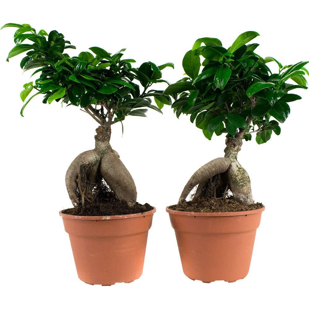 2 bonsai ficus ginseng-pianta da camera in vaso coltivatore ?17 cm-altezza 40 cm Choice of Green