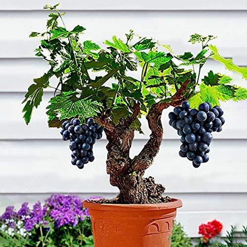 Kisshes10Pcs Jaboticaba Seeds Fruit Seeds Bonsai Grape Tree Plant Seeds Indoor Kyoho Grape Grapes Seeds ()
