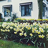 Van Zyverden 87042 Daffodils - Ice Follies - Set of 12 Flower Bulbs, 12/14 cm, Yellow and White