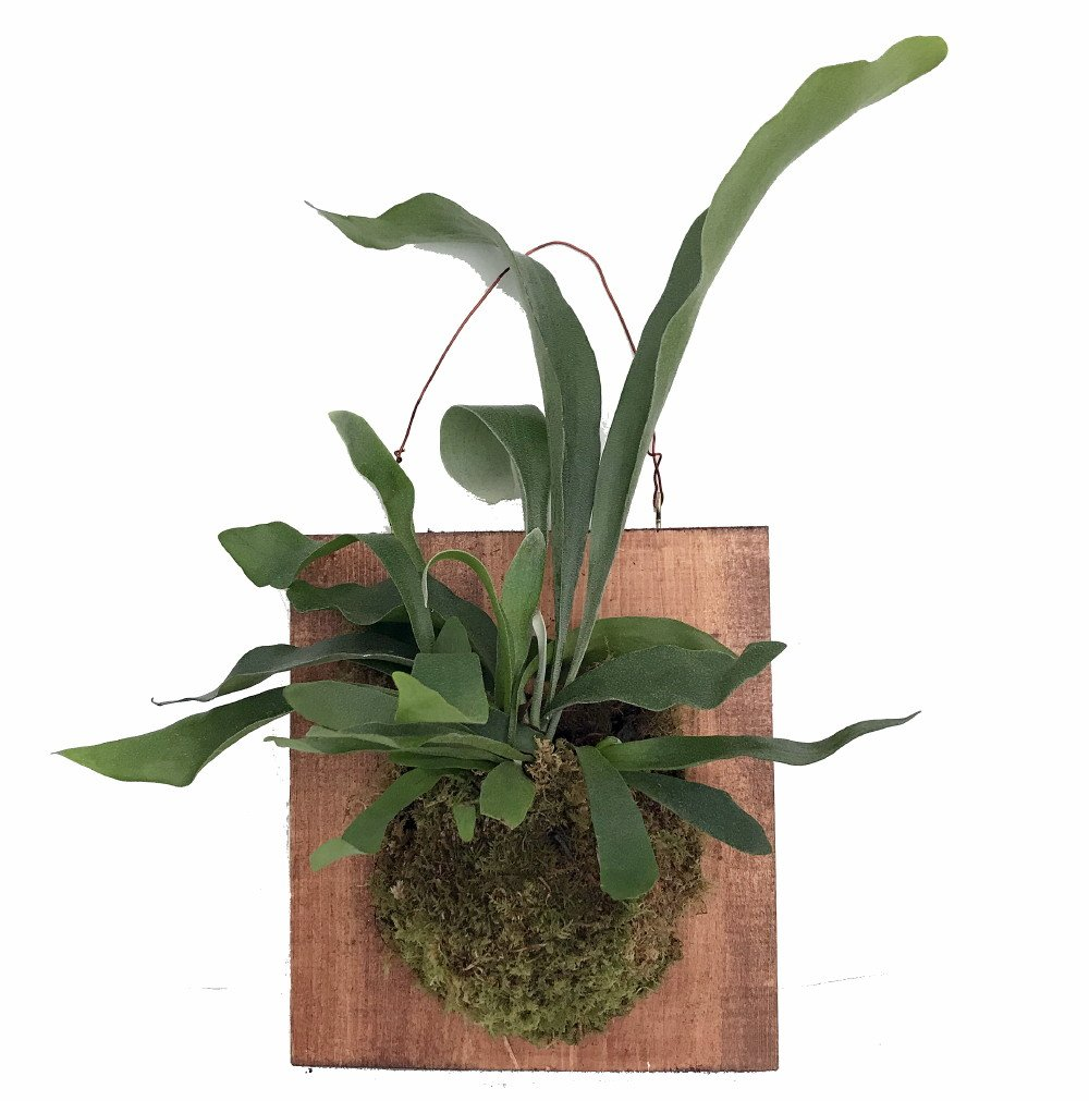 Large Live Staghorn Fern Mounted - Great Houseplant -10''x 9'' Walnut Stain Plaque