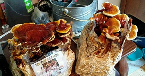 Mushroom Man LLC, Reishi Mushroom Kit - Indoor Growing Kit Reishi's Legacy'spans Centuries, Earning Global Recognition as a nutraceutical Species Supporting Longevity, General Wellness Vitality