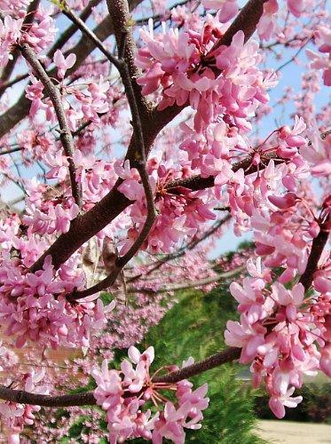 20 REDBUD TREE Cercis Canadensis Seeds