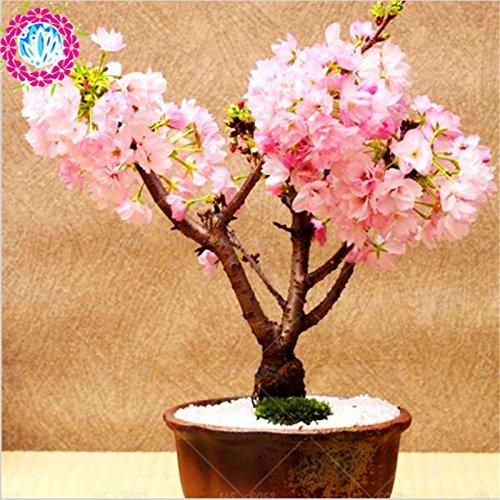 Bonsai Tree Japanese Sakura Seeds Rare Japanese Cherry Blossoms Flowers Seeds In Bonsai Pink Prunus Serrulata 10 Seeds Buy Online In Macau At Macau Desertcart Com Productid 59663250