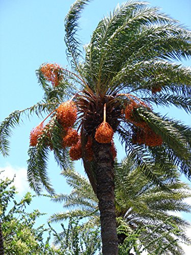 Date Palm Seedling (10+ Silver Date Palm seedlings Phoenix sylvestris Cold Hardy Landscape Palm Tree)