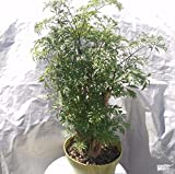 Aralia Ming Plant in 6 inch pot – Polyscias Fruticosa – About 20 Inches tall Review
