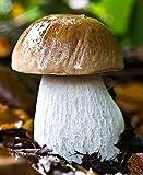 Seeds Porcini Mushroom King Bolete Mycelium Spawn