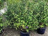 PlantVine Thunbergia erecta, King's Mantle - Large - 8-10 Inch Pot (3 Gallon), Live Plant - 4 Pack