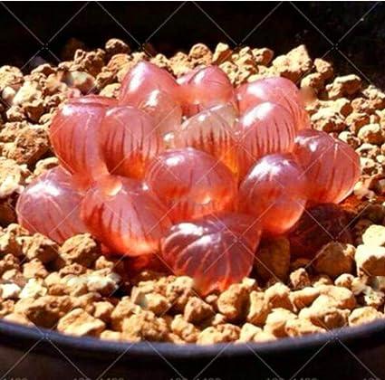 Amazon.com: 200 semillas de suculentas de belleza de cristal ...