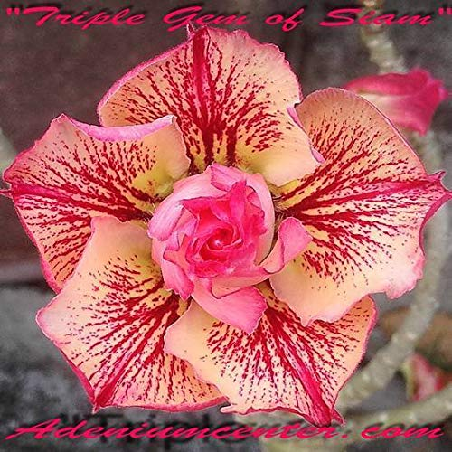 (adenium obesum Desert Rose Triple Flower