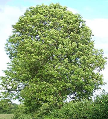 500 Common Ash Tree Seeds, Fraxinus excelsior, Ash Tree Seeds,