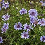 Outsidepride Blue Daisy Flower Seeds - 1000 Seeds