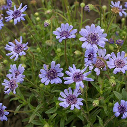 Outsidepride Blue Daisy Flower Seeds - 1000 Seeds