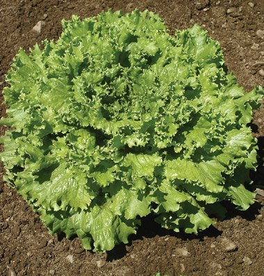 David's Garden Seeds Lettuce Tropicana DGS2485 (Green) 500 Organic Seeds