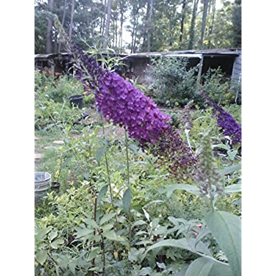 "(Liner) ELLEN'S Blue' Butterfly Bush, Deep Blue Flowers, Silvery Leaves. Great for Any Garden, Beautiful and Attracts Pollinators. Liner Size Plant Shipped in Plastic Bag or 3"" Pot. : Garden & Outdoor"