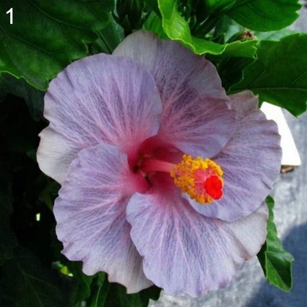 lamta1k 100 Unids Raras Semillas de Hibiscus Exóticas Alta tasa de Supervivencia Hogar Jardín Decoración de Flores Ornamentales - 1# Semillas de Hibiscus