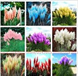 buy 500 Pcs Pampas Grass Seed Patio and Garden Potted Ornamental Plants New Flowers (Pink Yellow White Purple) Cortaderia Grass Seed now, new 2018-2017 bestseller, review and Photo, best price $1.75