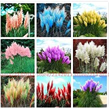 1000 pcs Pampas Grass Seed Patio and Garden Potted Ornamental Plants New Flowers (Pink Yellow White Purple) Cortaderia Grass Seed