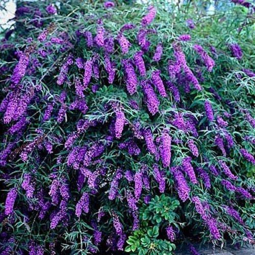 25+ Butterfly Bush, buddleia davidii, Violet Perennial Deer Resist Flower Seeds