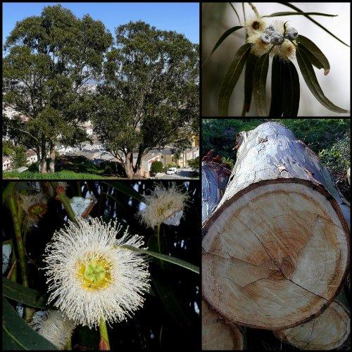 (25 TASMANIAN BLUE GUM TREE / EUCALYPTUS Globulus Flower SeedsComb S/H by Seedville)