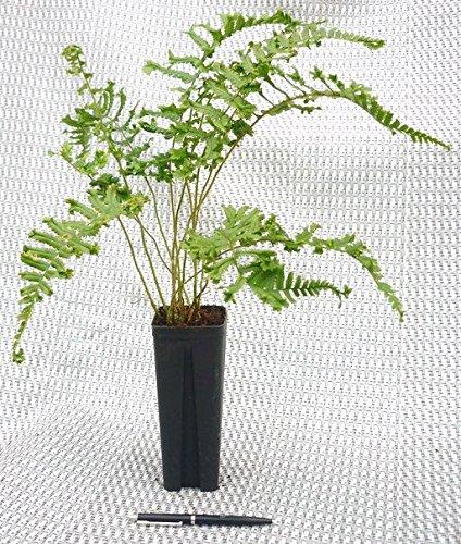 Farne- 5 Stk. Dryopteris affinis 'Cristata'- Garten Goldschuppen Farn- Topf: 0,7 ltr.