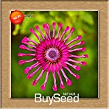 New Arrival!5 Color Available Osteospermum Seeds Potted Flowering Plants Blue Daisy Flower Seeds,50 PCS/Bag,#POF405