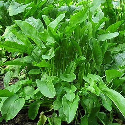 Russian Sorrel Bellevilsky, Sorrel Seeds from Russia : Garden & Outdoor