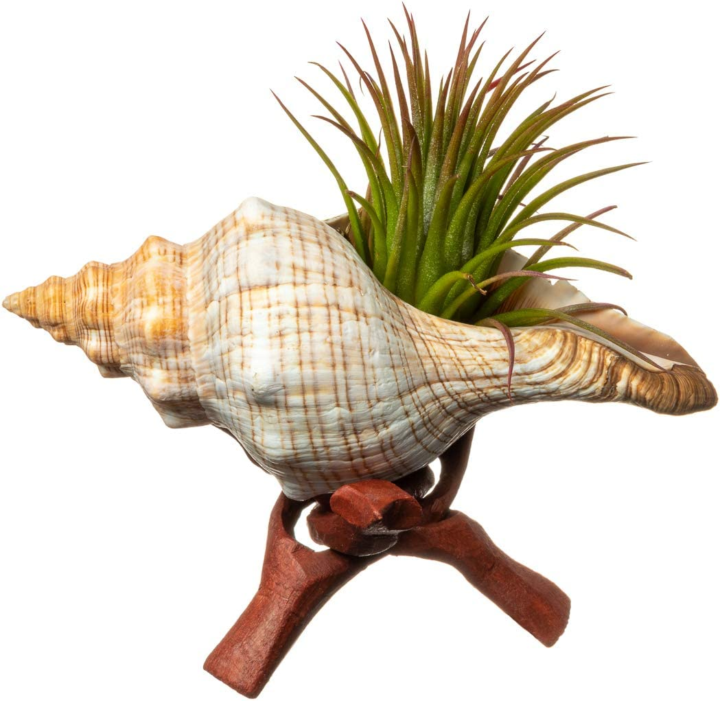 Tillandsia Air Plant with Fox Shell and Stand Gift Set 2-3 Air Plant with 4-6 Fox Shell Nautical Crush Trading TM