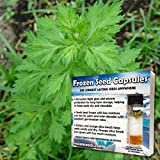 White Mugwort Seeds (Artemisia lactiflora) 10+ Rare Medicinal Herb Seeds + FREE Bonus 6 Variety Seed Pk - a $29.95 Value Packed in FROZEN SEED CAPSULES for Growing Seeds Now or Saving Seeds for Years