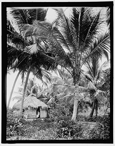 Vintography 8 x 10 Reprinted Old Photo of Cocoanut Palms Puerto Rico 1903 Detriot Publishing co. 01a