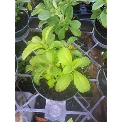 "AchmadAnam - Live Plant - STEVIA 1 4"" Pot Size. E10 : Garden & Outdoor"