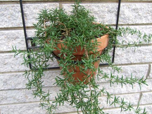 Clovers Garden Trailing Rosemary Herb Plant - Non-GMO - Two (2) Live Plants - Not Seeds - Each 3''-7'' Tall - In 3.5 Inch Pots - Prostrate Creeping Rosemary by Clovers Garden (Image #3)