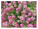 Dwarf Pink Sweet Alyssum Flower Seeds, 1000+ Premium Seeds, Bright & Beautiful Addition to Your Home Flower Garden!, 85% Germination Rates, (Isla's Garden Seeds), Highest Quality Seeds