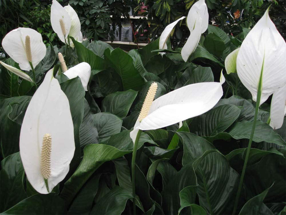 AMERICAN PLANT EXCHANGE Spathiphyllum Debbie Peace Lily Live Plant, 3 Gallon, Indoor/Outdoor Air Purifier! by AMERICAN PLANT EXCHANGE (Image #4)