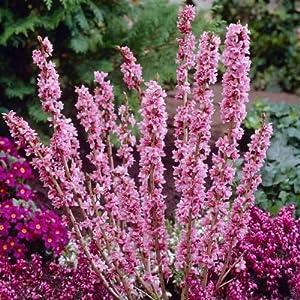 Daphne mezereum FEBRUARY DAPHNE Shrub Seeds!