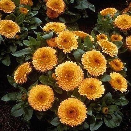 Amazon Com Marigold Apricot Flower Seeds Tagetes Erecta 50
