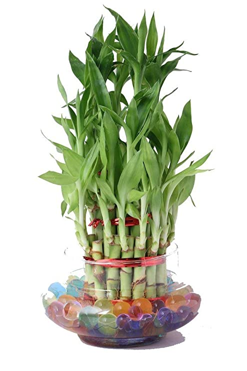 Green Plant Indoor 3 Layer Lucky Bamboo Plants Amazon In Garden