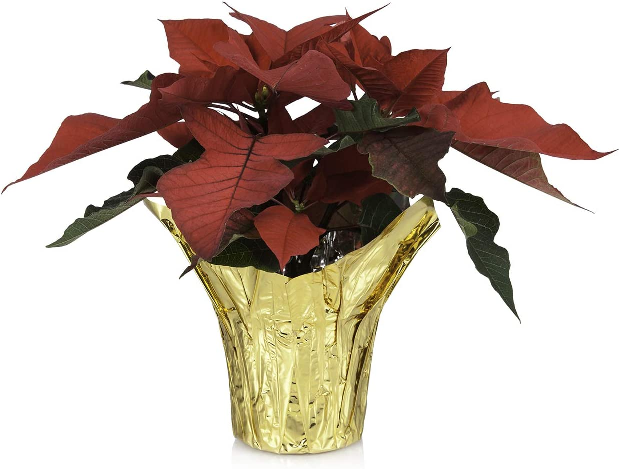 """Just Add Ice JAI355 Holiday Poinsettia Christmas Décor or Gift, Easy Care Live Plants, 6"""", Red, Gold Wrap"""
