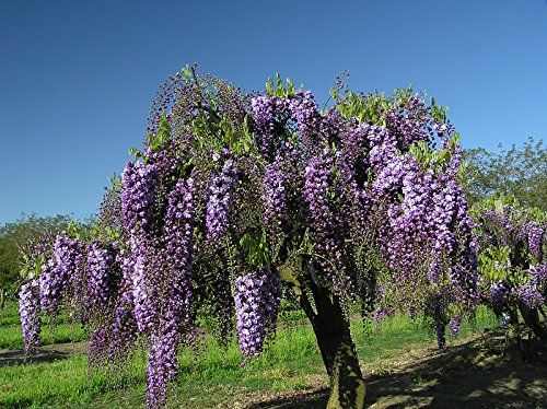Black Dragon Wisteria - Double Flowering Fragrant Vine 2 - Year Live Plant by Japanese Maples and Evergreens (Image #4)