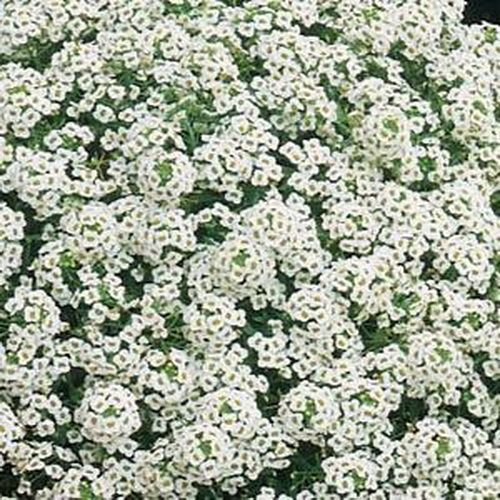 Non GMO Alyssum, Carpet of Snow Flower Seeds Lobularia maritima (1/2 Lb)
