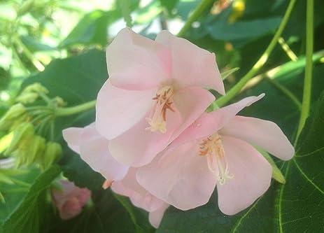 Amazon dombeya pink cloud cape wedding flower tropical dombeya pink cloud cape wedding flower tropical hydrangea plant shrub starter size 4 inch pot emerald mightylinksfo