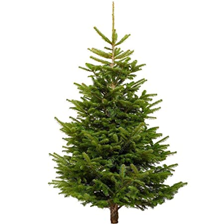 Fresh Christmas Trees.Gardenersdream Nordmann Fir Fresh Cut Christmas Tree Real Live Fresh Seasonal Xmas Tree 5ft 150cm Week 2