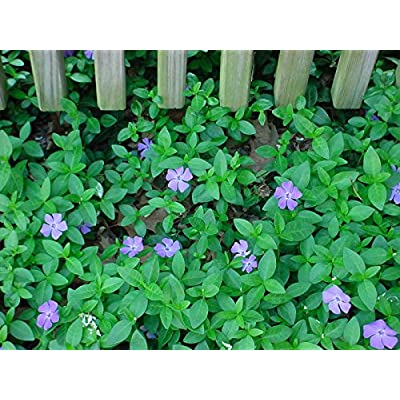 100 Plants (15-20 leads) Vinca Minor, Periwinkle, graveyard, ground cover vines : Garden & Outdoor