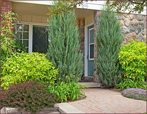 Skyrocket Juniper - 40 Live 2'' Pots - Juniperus Scopulorum - Upright Evergreen Trees by Florida Foliage (Image #4)