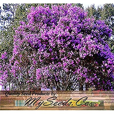 Risalana 100 x Crape Myrtle Tree Mixed Seeds - Blooms Last 120 Days - Lagerstroemia Indica - Perfect As Shrub Or Small Tree - Zones 6-9 : Garden & Outdoor