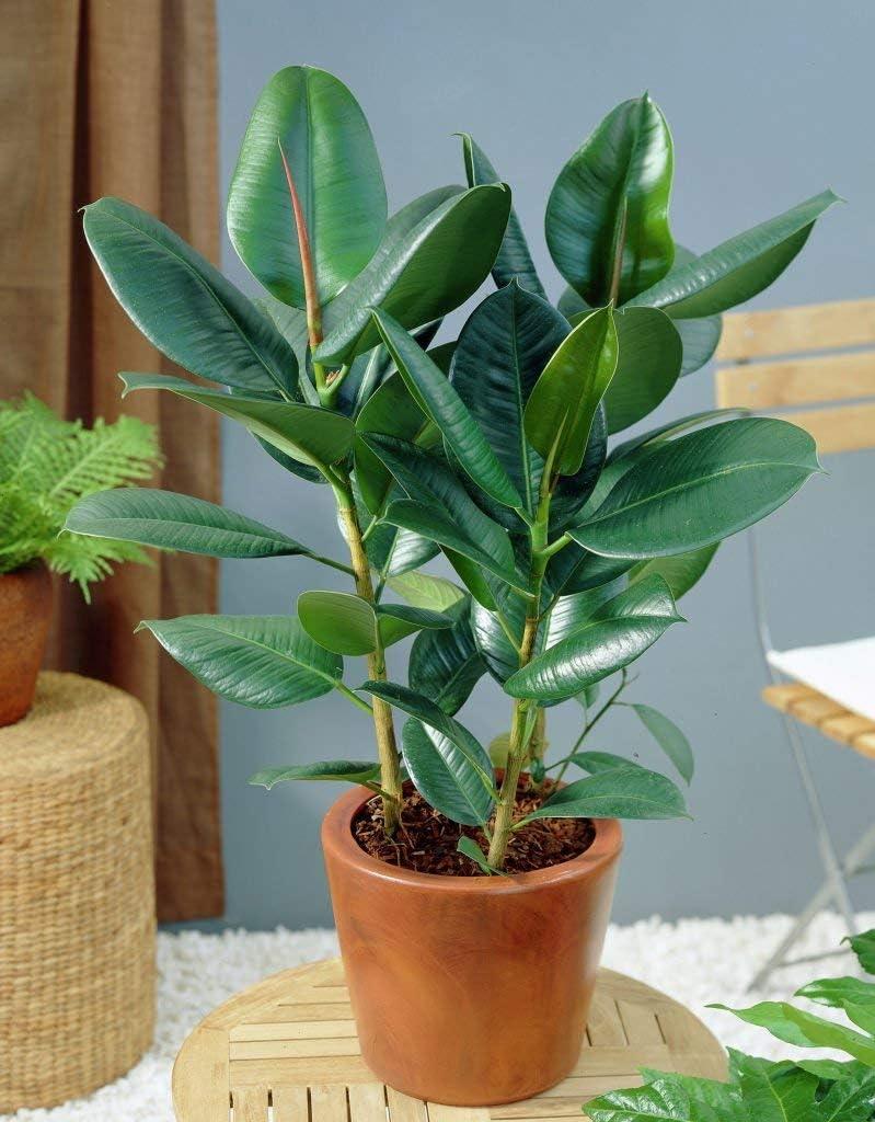 5 Graines Ficus Elastica Hévéa (caoutchouc) Plante Synthétiques Houseplant:  Amazon.fr: Jardin