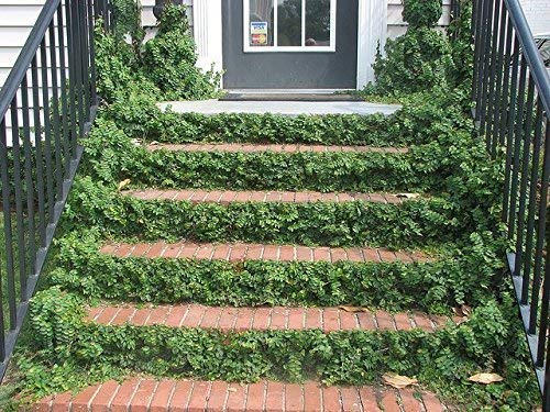 Creeping Fig Vine - Ficus Pumila - 10 Live Fully Rooted Plants - Climbing Ivy by Florida Foliage (Image #6)