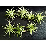 NewDreamWorld Package of 5 Small Ionantha Tillandsia Air Plants for DIY Terrarium Supply - Home Decoration Wedding Favor Indoor Garden Accessories (5)