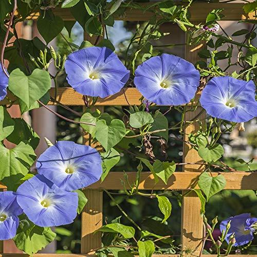Outsidepride Morning Glory Heavenly Blue Seed - 1 LB