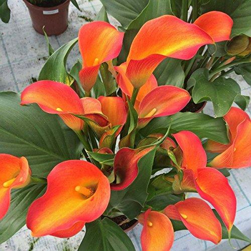 Orange County Calla Lily 16/18 cm ()