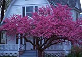 25 QUALITY EASTERN REDBUD TREE SEEDS Cercis Canadensis -Free Shipping